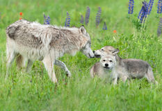 O lúpus de Grey Wolf Canis cumprimenta filhotes de cachorro imagens de stock