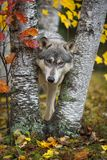 O lúpus de Grey Wolf Canis olha para fora entre de Autumn Leaved Trees fotos de stock royalty free