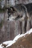 O lúpus preto de Grey Wolf Canis da fase olha para baixo sobre da rocha foto de stock royalty free