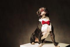 O laço vestindo assentado do cachorrinho do buldogue francês está olhando acima Fotos de Stock Royalty Free
