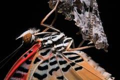 O Lacewing do leopardo Imagens de Stock