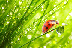O Ladybug em uma grama dewy.