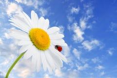 O Ladybug está sentando-se na camomila de encontro ao céu Imagens de Stock Royalty Free