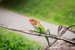 O lagarto Foto de Stock