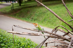 O lagarto Fotografia de Stock