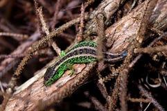 O lagarto Imagens de Stock