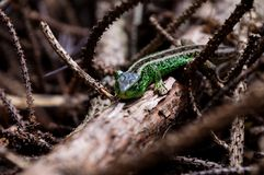 O lagarto Foto de Stock Royalty Free
