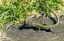 O lagarto (agilis do lacerta) na caça travou a minhoca Imagem de Stock