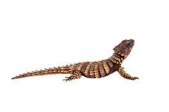 O lagarto cintado tatu no branco Imagem de Stock Royalty Free