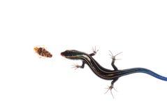 O lagarto come a barata Imagens de Stock Royalty Free