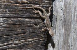 O lagarto da artemísia adere-se de cabeça para baixo fotografia de stock
