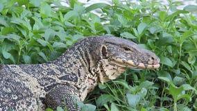 O lagarto de monitor da vida uma dos animais selvagens relaxa no beira-rio video estoque