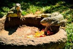 O lagarto dois come vegetais da calha no dia ensolarado do verão fotografia de stock