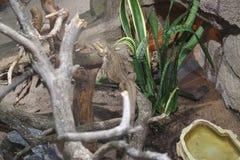 O lagarto em um ramo toma sol no sol imagens de stock