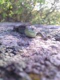 O lagarto encontra o sorriso Foto de Stock Royalty Free