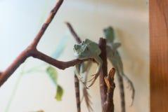 O lagarto está em uma árvore Fotos de Stock