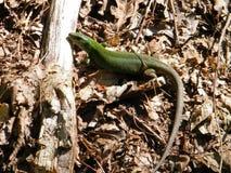 O lagarto está ensolarado fotografia de stock royalty free