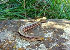O lagarto Legless chamou um lagarto de vidro Foto de Stock