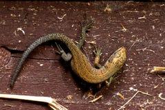 O lagarto na árvore Imagens de Stock