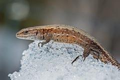 O lagarto na neve (lat Agilis do Lacerta) Fotografia de Stock