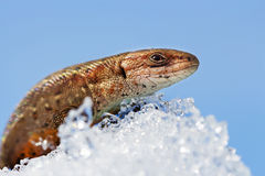 O lagarto na neve (lat Agilis do Lacerta) Imagens de Stock Royalty Free