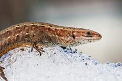 O lagarto na neve (lat Agilis do Lacerta) Foto de Stock Royalty Free