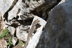 O lagarto na rocha fotos de stock royalty free