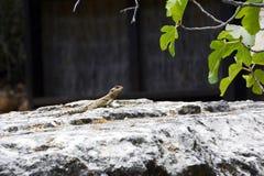 O lagarto no alerta, em um fundo preto com figo sae Imagem de Stock