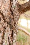 O lagarto no tronco do pinho imagens de stock royalty free