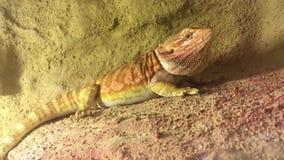 O lagarto olha a lente vídeos de arquivo