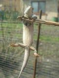 O lagarto pendura em uma vara fina Imagens de Stock Royalty Free