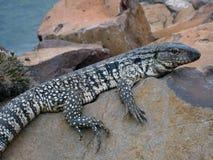 O lagarto que balança. Imagem de Stock Royalty Free