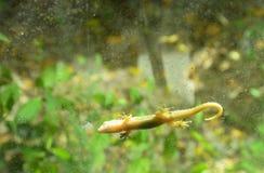 O lagarto que pendura ainda para toma sol na porta de vidro com fundo do jardim Imagem de Stock Royalty Free