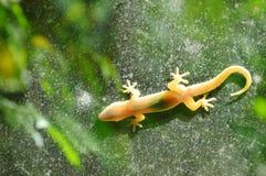 O lagarto que pendura ainda para toma sol na porta de vidro com fundo do jardim Fotos de Stock Royalty Free