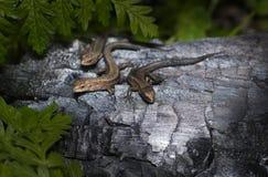 A família do lagarto Imagens de Stock