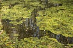 O lago coberto de vegetação Imagens de Stock Royalty Free