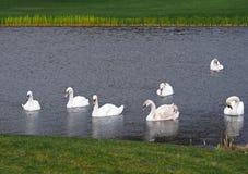 O Lago das Cisnes Foto de Stock Royalty Free
