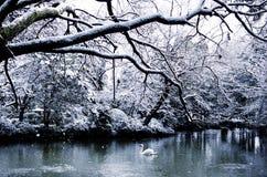 O Lago das Cisnes bonito no conceito calmo da cena do inverno Fotografia de Stock