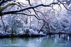 O Lago das Cisnes bonito no conceito calmo da cena do inverno Foto de Stock Royalty Free