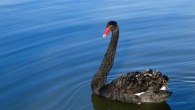 O Lago das Cisnes preto Foto de Stock Royalty Free