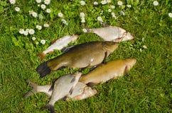 O lago pesca tencas, brema, grama verde do prendedor da barata Foto de Stock Royalty Free
