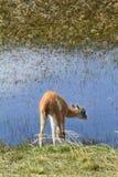 O lama Cub quer beber Fotografia de Stock Royalty Free