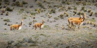 O lama está um sul domesticado - camelid americano, amplamente utilizado como uma carne e um animal de bloco por culturas andinas imagem de stock