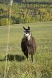 O lama tem tais olhares interessantes Imagem de Stock Royalty Free