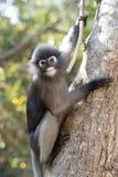 O Langur sul ou o macaco obscuro da folha são residentes no obscurus de Tailândia Trachypithecus, foco seletivo Fotos de Stock