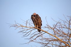 O Lappet enfrentou o abutre (o tracheliotus de Torgos) Imagens de Stock Royalty Free