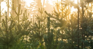 O lapso de tempo do sol irradia o brilho através dos pinheiros vídeos de arquivo