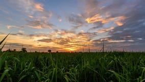 O lapso de tempo zumbe dentro ao campo da cana-de-açúcar no tempo do por do sol vídeos de arquivo