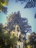 O larício nos Andes varia, árvore grande no patagonia Parque natural Pumalin no Chile As árvores as mais altas imagem de stock royalty free