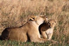 O leão ama Cub Fotografia de Stock Royalty Free